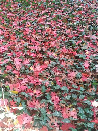Red maple leaves on ground at Ralph's
